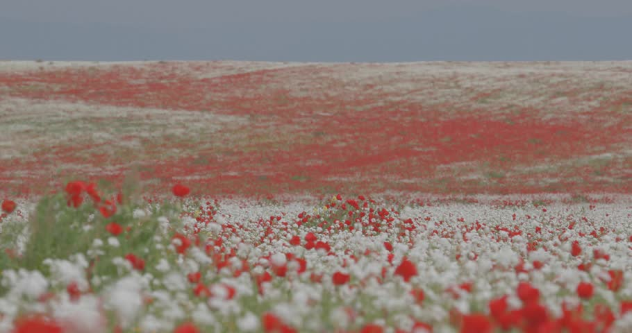 A huge field of flowering poppies. A field of colorful flowers against a blue sky. Red poppies swinging in the wind. Field, spring flowers.