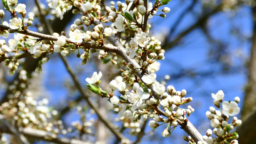 Spring Flowering Of Fruit Trees White Flowers On Tree Branches