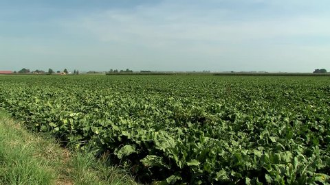 Pan shot of field with sugar beets near Straubing in Bavaria, Germany.