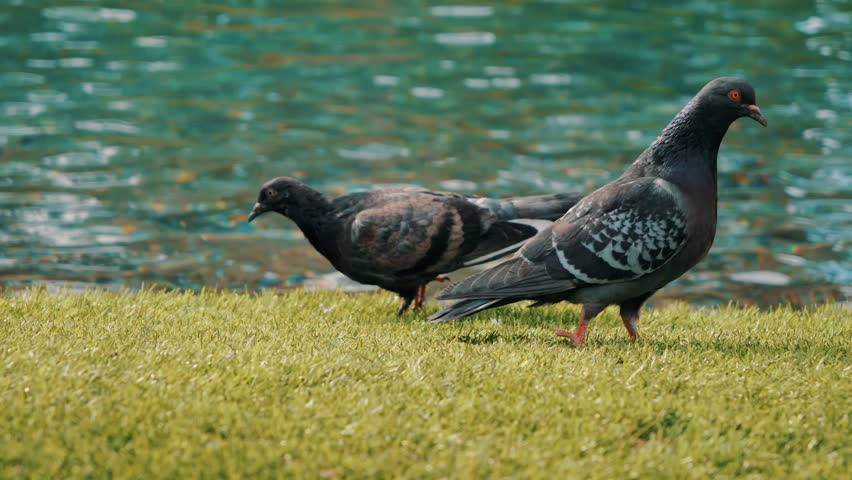 Group of pigeons walking and bobbing their heads and pecking at the ground looking for food in Las Vegas | Shutterstock HD Video #1028020190