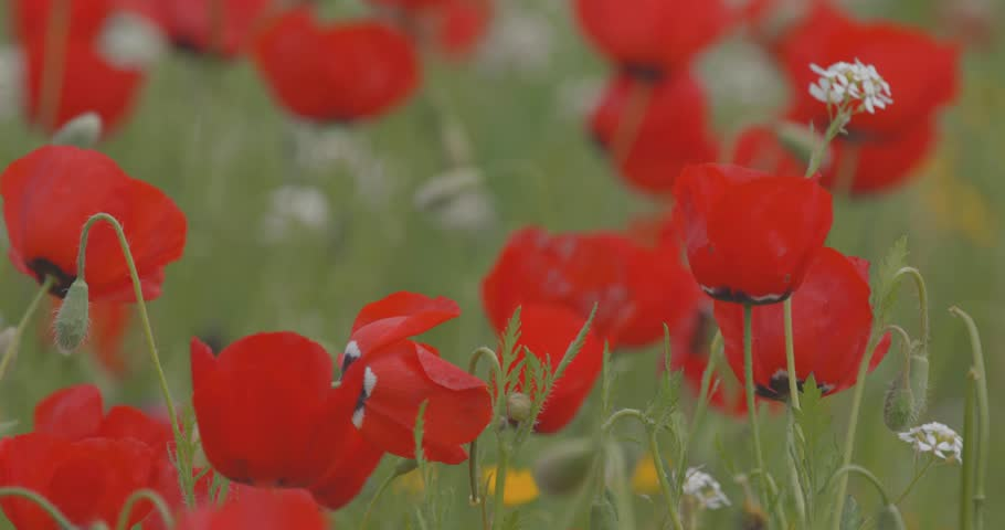 Field of flowering poppies, closeup. Red poppies swinging in the wind. Wildflowers. Spring flowers. Summer landscape. Many flowers.