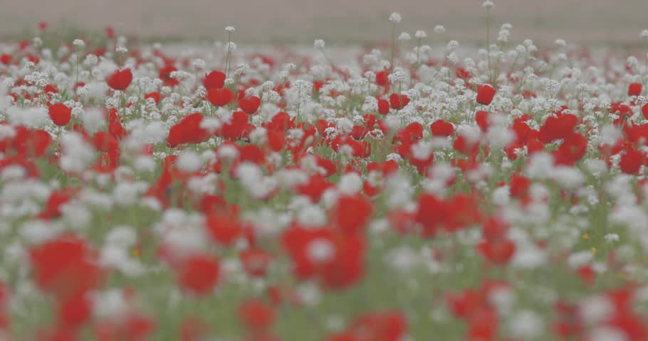 A large field of blooming red poppies. A field of colorful, wild flowers, swaying in the wind. Field, spring flowers. Summer landscape.