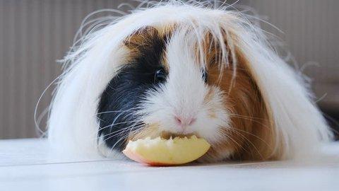 Cute haity guinea pig eating tasty apples