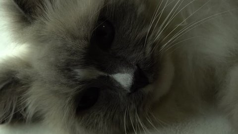 Cat with big blue eyes looking at the camera . Cat nose And mouth with long whiskers, extremes close up. Fuzzy ragdoll breed cat with cute face look. 4k uhd.