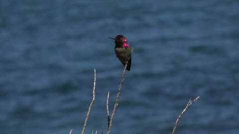 Annas hummingbird with iridescent gorget and head feathers, San Diego, California, USA