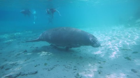 A West Indian Manatee (Trichechus manatus) cow and calf swim through the headwaters of Florida's Three Sisters Springs. Many manatees winter here. Note the boat propeller scars on the mother's back.