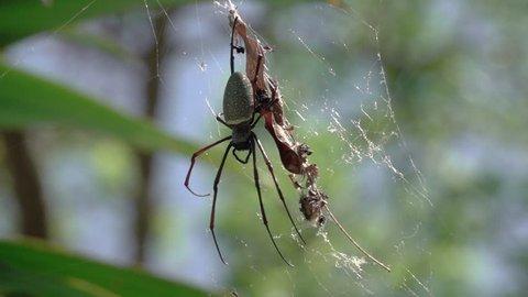 Batik golden web spider hanging in big web swaying in the wind,slow motion hd. Spotted golden web spider.