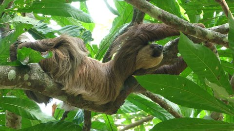Three-toed sloth climbing up a tree in the rainforest. Sloths are arboreal mammals noted for slowness of movement and for spending most of their lives hanging upside down in the trees of the tropics.