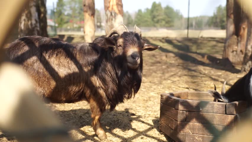 screaming goat video download