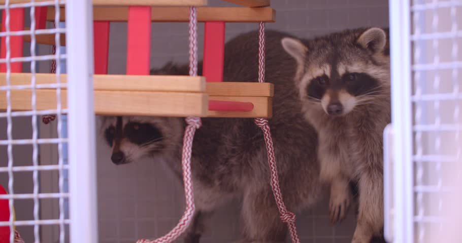 Close-up shot of two cute fluffy raccoons playing on swing in the zoo cage. | Shutterstock HD Video #1028448710