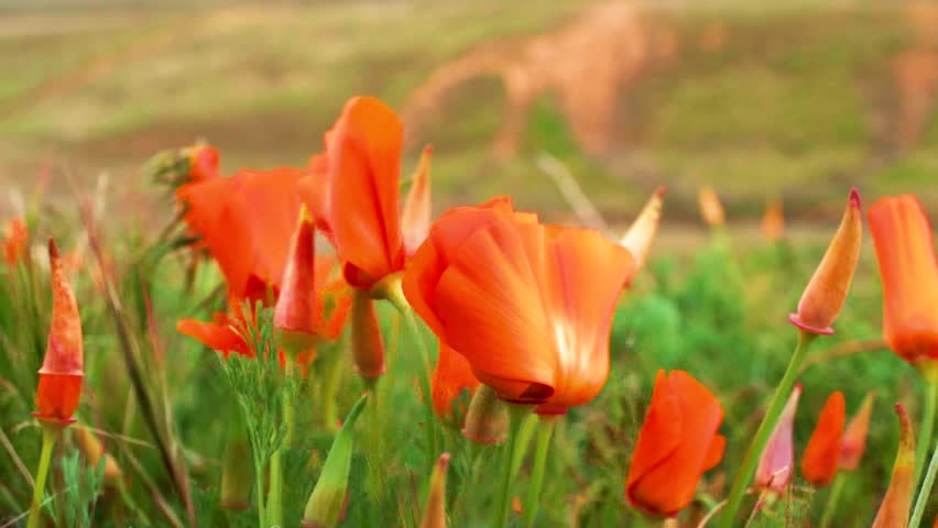 Curled up orange poppies on windy day in green field, Close Up Detail Shot