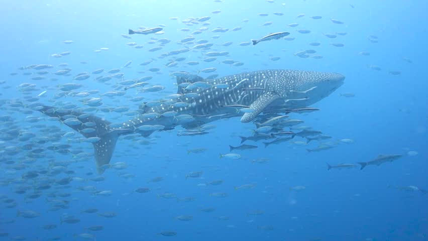Schools of fish swim and dart around large Whale Shark in the Gulf of Thailand. | Shutterstock HD Video #1028555810