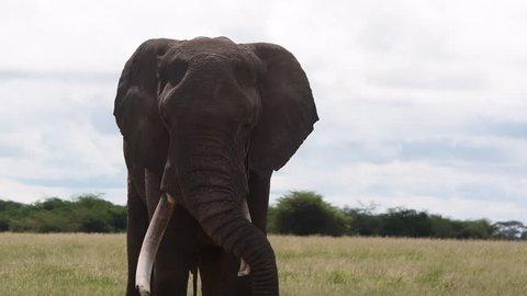 African Elephant (Loxodonta africana) big bull resting with trunk over tusk, Amboseli N.P. Kenya.