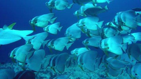 Shoal of Longfin Batfish swimming in clear blue water