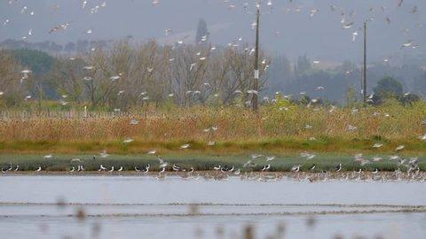 Slow motion flock of Godwit birds flying in formation landing on wetland in New Zealand near Miranda