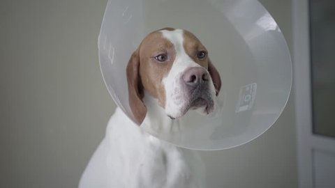 Close up of pointer dog with brown spots in the veterinary collar. The animal is on the table in veterinary clinic, human hand gives the food to the dog and he is eating. Pet health care