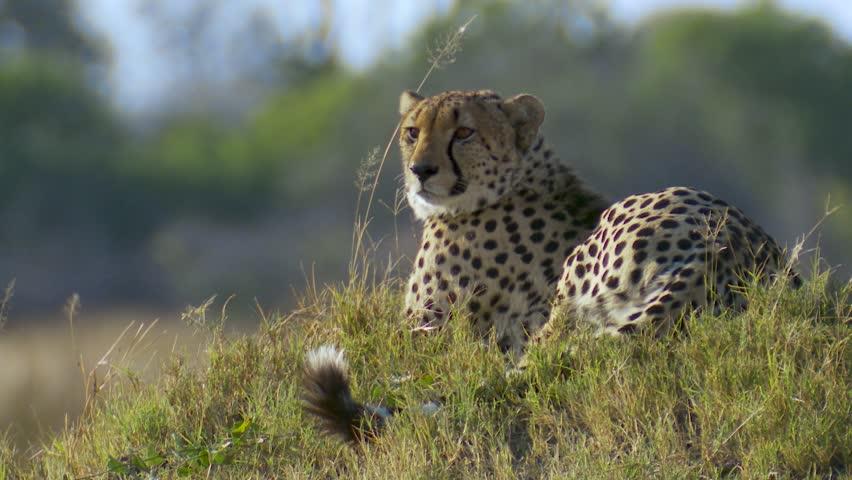 Medium close shot of a male cheetah sitting on a grassy mound in Africa | Shutterstock HD Video #1028821460