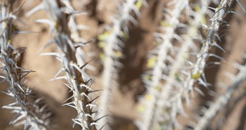 Spiky desert plant branch with sharp thorns