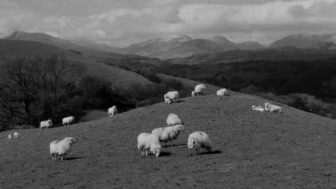 Sheep on hill mound with mountains in the background, North Wales in the UK. Version = Zoom In Black and White - 15 Seconds
