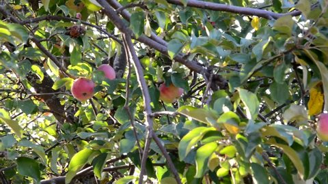 Red delicious apple with water drops. Shiny delicious apples hanging from a tree branch in an apple orchard