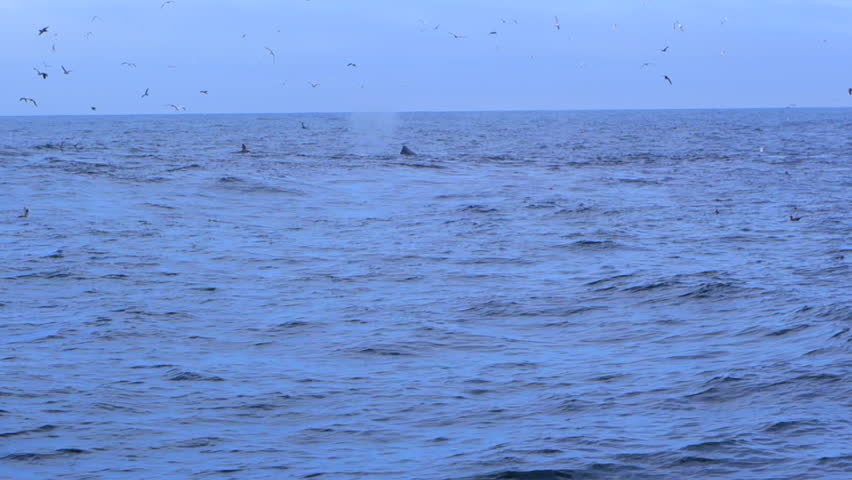 Two Whales Breach as They Feed in Monterey, CA