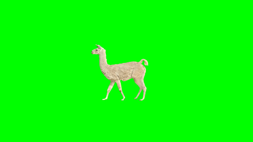 Lama slowly walking across the frame on green screen, real shot, isolated with chroma key, perfect for digital composition, cinema, 3d mapping. | Shutterstock HD Video #1029091340