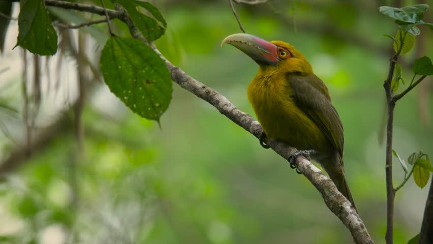 Saffron Toucanet (Pteroglossus bailloni)sitting on a branch | Shutterstock HD Video #1029169940