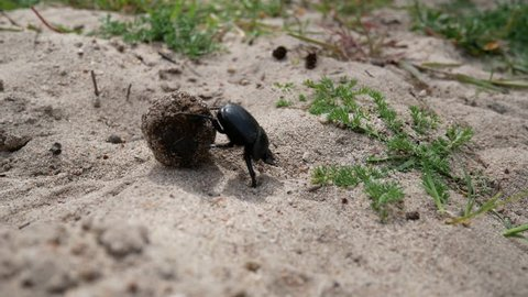 dung beetle rolling a dung ball into his den. A tireless insect works on a sandy dune. Desert des Agriates, Corsica, France