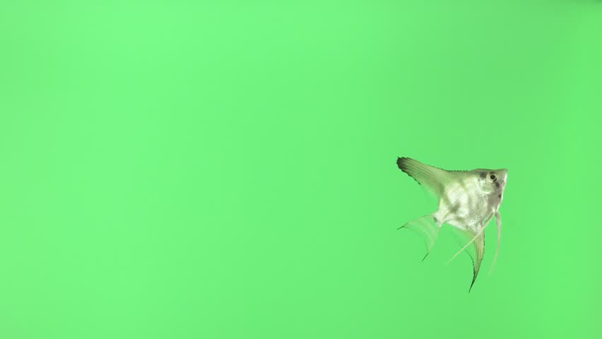 A beautiful white fish is swimming slowly. Isolated green background. Animal chroma key.