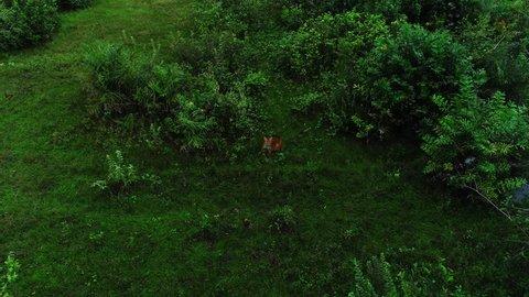 Aerial video of a puma walking through the swamp, Pantanal, Mato Grosso, Brazil.