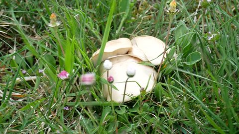 Calocybe gambosa, St. George's mushroom, an edible wild mushroom that grows mainly in fields. Mushrooming, looking for wild fungus. Picking mushrooms in the grass at springtime