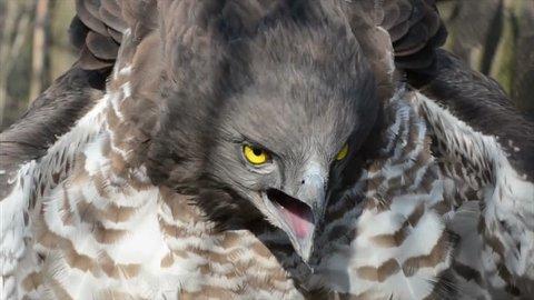 Short-toed snake eagle (Circaetus gallicus) is screaming
