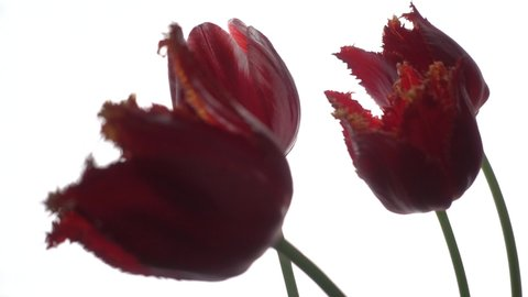 Red tulips at wind isolated on white, slow motion, 250fps
