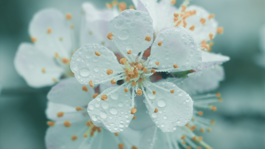 Flowers apricots in raindrops bloom in the garden on a flowering apricot tree. Spring flowers close up. Nature. | Shutterstock HD Video #1029485150