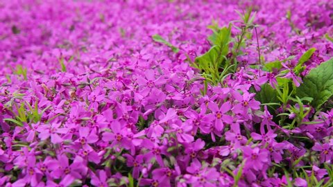 field of purple flowers. pink garden flowers