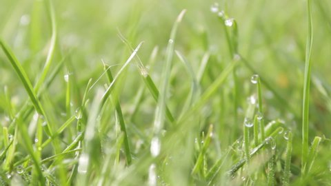 Close up shot of morning dew on lush green grass