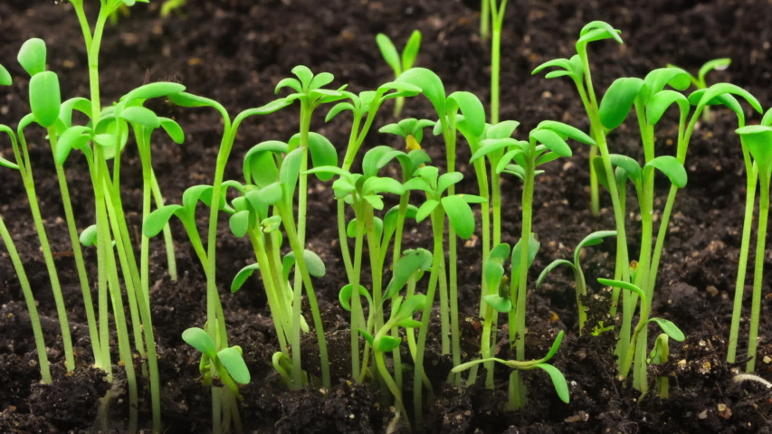 Growing plants in timelapse, sprouts germination newborn cress salad plant in greenhouse agriculture