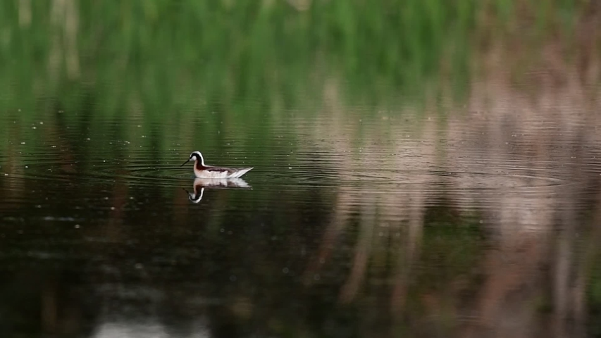 A Beautiful Wilson's Phalarope  Swimming i Pond Searching for Food | Shutterstock HD Video #1029730220