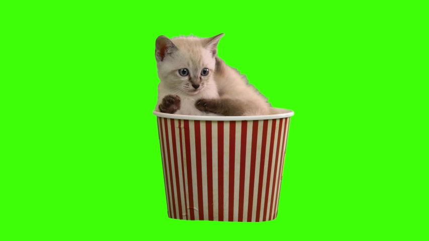 4K Green Screen Kittens Siamese Cat Sitting Inside a Popcorn Bowl and Looks Around Playing Each Other Chroma Key Siamese Cat
