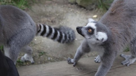 Lemur is excited for the food what is about to be given to him | SLOW MOTION