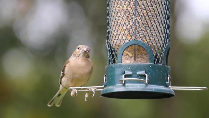 Female chaffinch as it eats seeds from a garden bird feeder.