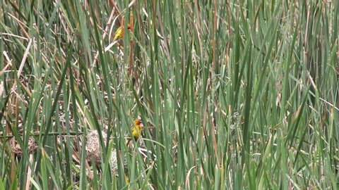 2 Yellow Weaver Birds on reeds by their nests.