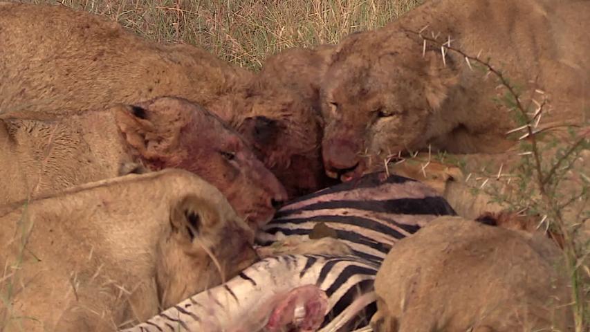 Medium Shot Hungry Lion Devour Prey. | Shutterstock HD Video #1030021130