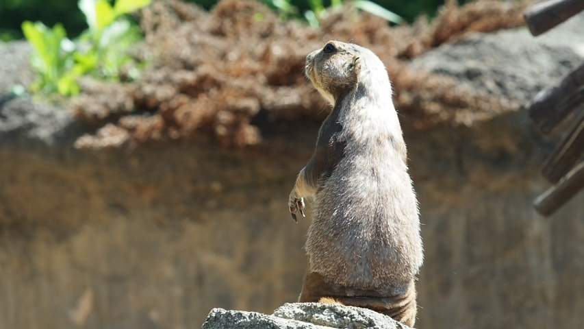 Prairie dog are looking somewhere, keeping his eye  | Shutterstock HD Video #1030027430