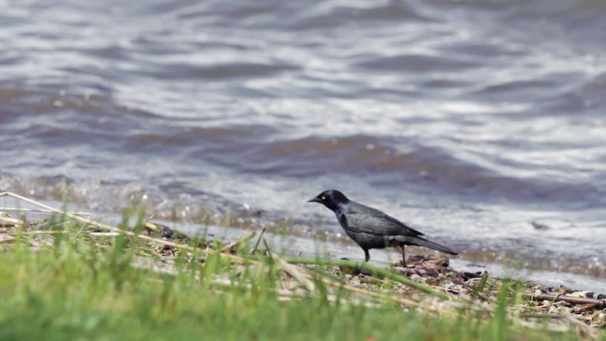 Rusty blackbird walking and rummaging for food on shoreline | Shutterstock HD Video #1030090910