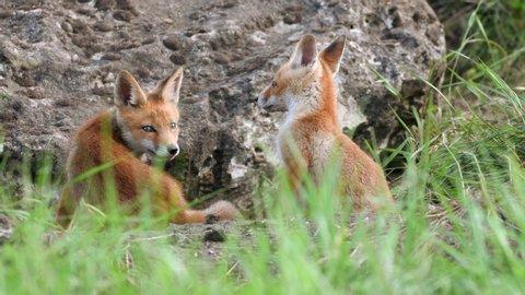 Cute red foxes cub sitting near his burrow, Vulpes