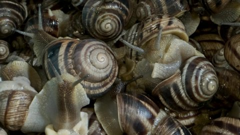 Active snails on the farm during feeding. Background of live snails. Super macro
