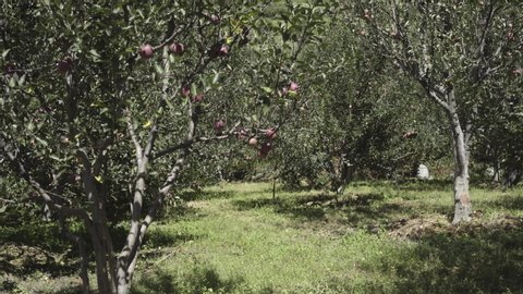Beautiful Red apples in Apple Orchard in Himalayas. Himalayas Apple. Uttarakhand Apple. Upper Himalayas Apple.India Apples.Apples Blooming trees.