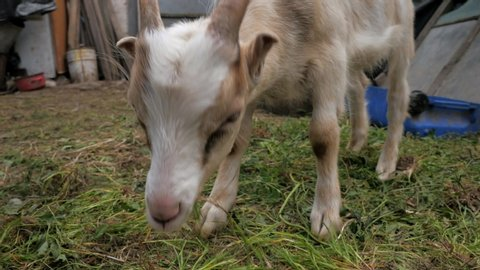 Goats Little kids. Posting video. Goat Selfie Goats in the yard. Domestic goats. Goats are playing. Close-up. goatlings.