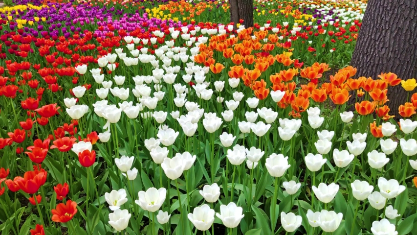 Field of beautiful tulips of different varieties and different vibrant colors blooming in spring garden. Flower bed. Tulip festival. Tulip flower blossom in springtime. Beauty of nature